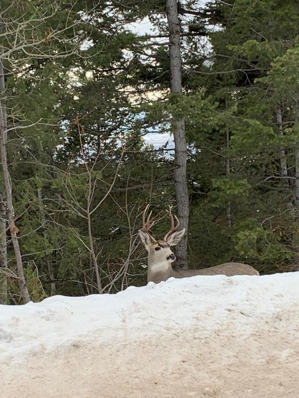 Idaho Deer