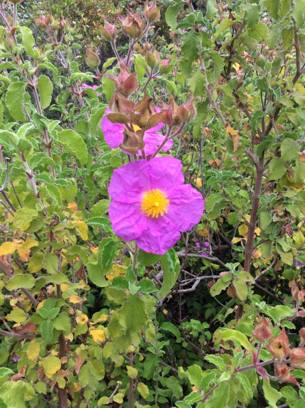 Rock Rose, one of the 5-flower Bach Rescue Remedy