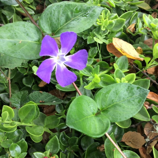 """Periwinkle, a flower that has been a """"volunteer"""" and appeared magically almost everywhere I have lived. The color, shape and geometry of it always make me feel """"I'm home."""""""